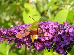 Sphinx Colibri (PicsTommy) Tags: butterfly morosphinx sphinxcolibri holycreationsofnature grandprizehalloffame