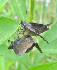 Juvenal's duskywings, mating (Pete&NoeWoods) Tags: skipper lepidoptera mating animalia arthropoda lep insecta hesperiidae pyrginae juvenalsduskywing erynnisjuvenalis erynnis hesperioidea washingtoncountypennsylvania taxonomy:class=insecta taxonomy:order=lepidoptera taxonomy:kingdom=animalia taxonomy:family=hesperiidae taxonomy:phylum=arthropoda pyrgini taxonomy:subfamily=pyrginae taxonomy:binomial=erynnisjuvenalis taxonomy:genus=erynnis taxonomy:superfamily=hesperioidea taxonomy:species=juvenalis taxonomy:common=juvenalsduskywing taxonomy:tribe=pyrgini stategameland232 mariposahada taxonomy:common=mariposahada f13woo35 sgl232