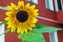 Gr mir die Sonne ... (Skley) Tags: wedding berlin rot foto natur samsung gelb grn blume sonnenblume sprengelkiez skley nx1000