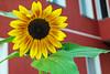 Grüß mir die Sonne ... (Skley) Tags: wedding berlin rot foto natur samsung gelb grün blume sonnenblume sprengelkiez skley nx1000