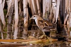 Schiribilla - Porzana parva - Little Crake (vieri bertola) Tags: uccelli racconigi lipu schiribilla
