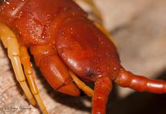 Go Back > Gallery For > Giant Centipede Fangs Giant Centipede Fangs