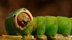 Seamos sinceros.............. (T.I.T.A.) Tags: macro tita oruga cerura gusanoverde orugaverde carmensolla ceruraibérica carmensollafotografía carmensollaimágenes