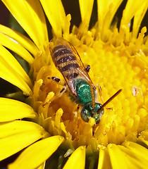 Metallic Green Bee (Agapostemon) (kaeagles) Tags: california bees bugs salinasrivernwr