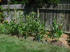 Corn 9-8-13 (NickRoseSN) Tags: california ca garden corn maize sanmateo sweetcorn backyardgarden sanmateocounty sweetcornbuttergold
