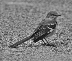 Northern Mocking Bird (ramkumar999) Tags: park bird photography prime nikon miami wildlife doug telephoto manual nikkor ai f35 400mm d7000