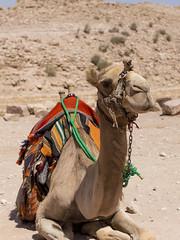 Petra Camel (Tam Church) Tags: petra jordan camel