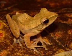 Polypedates leucomystax (antonsrkn) Tags: wild nature asia amphibian frog borneo treefrog herp danum dvfc malua polypedatesleucomystax fourlinedtreefrog