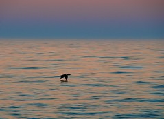 Cormorant at Sunset (imageClear) Tags: color bird water beauty wisconsin lens photography one fly flying photo wings lowlight nikon flickr image wildlife flight picture lakemichigan telephoto single lakeshore birdsinflight cormorant sheboygan avian photostream lakefront telephotolens bif naturephotography skimming birdphotography 18200mm wildlifephotography lowlightphotography d7000 imageclear cormorantatsunset