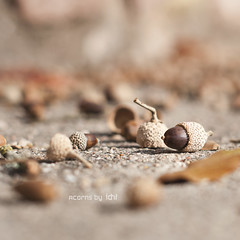 acorns (idni . idniama) Tags: autumn brown fall nature 50mm nikon sau acorns gettyimages marrn bellotas 2013 arasdesuelo frutosdeotoo aglans idni gettyimagesiberiaq3