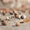 acorns (idni . idniama) Tags: autumn brown fall nature 50mm nikon sau acorns gettyimages marrón bellotas 2013 arasdesuelo frutosdeotoño aglans idni gettyimagesiberiaq3