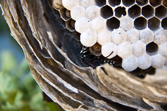 Opening a Hornets' Nest 4 (LongInt57) Tags: brown white canada black green nature paper grey bc okanagan bees gray insects bugs inside kelowna wasps cells larvae hornets pupae hives nests