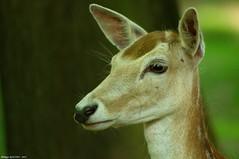 Daine (Phil du Valois) Tags: wild wildlife deer fallowdeer parc fallow valois daim sauvage faune daine crpy geresme cervi