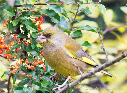Greenfinch eating red berries