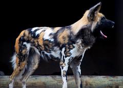 African Wild Dog (nic_r) Tags: wild dog african painted hunting safaripark africanwilddog lycaon pictus westmidlandsafaripark painteddog wmsp lyacon ornatewolf