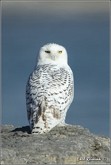 Enjoying the rays.. (Earl Reinink) Tags: nature nikon raptor owl earl bif snowyowl nikond4 birdphotograph snowyowlinflight earlreinink reinink 201312070871