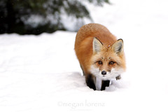 Stealthy Fox (Megan Lorenz) Tags: winter wild snow ontario canada male nature wildlife whitney fox algonquin wildanimals redfox naturephotocontest mlorenz meganlorenz