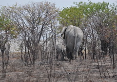 Disappearing Act (The Spirit of the World) Tags: africa nature wildlife safari elephants namibia etosha babyelephant southernafrica abigfave motherandbabyelephant nationalparkofnamibia
