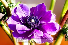 Anemone (doublejeopardy) Tags: anemone flowersandplants daughterofthewind