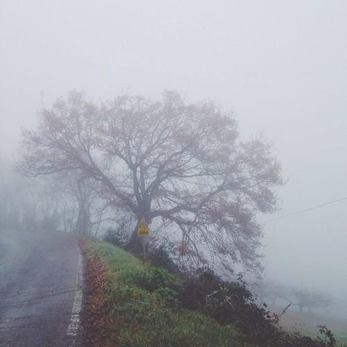 Morning walk, oak.