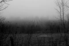 Vignoble, hiver (Glaneuse) Tags: trees winter mist fog dark blackwhite vineyard bushes damp alleys
