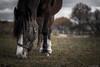 Green green grass of home (ErlandG) Tags: horse eye grass animal norway dof bokeh eatinggrass