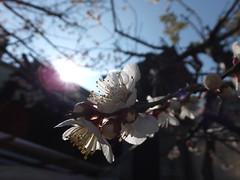 plum #11 (Atsushi Ezura) Tags: pink flower tokyo shrine plum yushima yushimatenjin yushimatenmangu