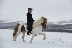 lfur fr Selfossi (kamilla iversen) Tags: horse kamilla stallion fra icelandic fr iversen islandshest hesturinn selfossi lfur alfur islenski istlt