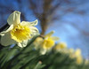 With a Spring in their step (kenny barker) Tags: scotland spring explore daffodils olympusep1 panasonic20mmf17asphlens kennybarker