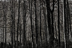 Hayedo (La letra calma) Tags: trees blackandwhite white black tree blancoynegro forest blackwhite rboles bn bosque rbol haya hayas