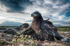 White-tailed Eagle (Haliaeetus albicilla) (Gudmann) Tags: bird nature birds animal animals fauna is iceland europe wildlif