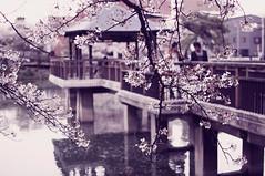 (Anikaviro) Tags: park flowers flower tree primavera water festival japan digital 35mm cherry spring pond nikon blossom nagoya   sakura aichi printemps hanami  tsurumai        d40