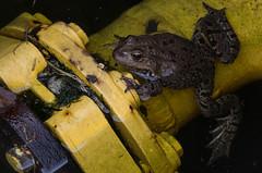Grenouille rousse (belgobreizh) Tags: mars bruxelles frog grenouille 2014 commonfrog bruinekikker grenouillerousse ranarossa ranamontana ranaalpina
