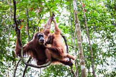 Ratna and Youngster 4807 (Ursula in Aus) Tags: animal sumatra indonesia unesco orangutan ape greatape bukitlawang gunungleusernationalpark earthasia