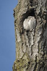 Eastern Screech Owl (craig_schenk) Tags: winner guelph guelpharboretum winter owl easternscreechowl nature wildife bird outdoors
