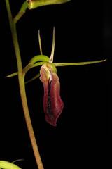 Cryptostylis subulata 2017-02-03 01 (JVinOZ) Tags: orchid orchidspecies cryptostylis australiannativeorchid australianterrestrialorchid