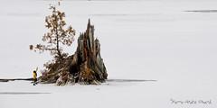 """au Pied du rocher ... ( P-A) Tags: imagination proportion perceptionsouche racine rivièregelée glace hiver froid bois cèdre photos simpa© """"nikonflickraward"""" """"atravésdetumirada"""""""