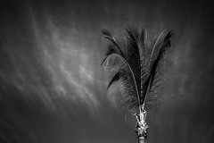 Palm Tree (Mabry Campbell) Tags: 2016 december mabrycampbell mexico nayarit puntamita rivieranayarit blackandwhite coastal commercialphotography fineart fineartphotography image lonetree palmtree photo photograph photographer photography tree trip tropical tropics f28 december112016 20161211campbellh6a8663 100mm ¹⁄₅₀sec 12800 ef100mmf28lmacroisusm