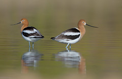 Avocets (Amy Hudechek Photography) Tags: american avocets birds spring water lake nature wildlife breeding colors colorado amy hudechek explore
