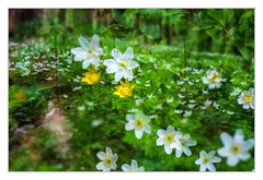Anemone time (bavare51) Tags: anemonen wald blumen montage natur mehrfachbelichtung