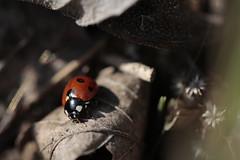Ladybird (zs_and_zs) Tags: ladybiird bug garden outdoor macro closeup coccinellidae coccinellaseptempunctata marienkäfer katica katicabogár hétpettyes