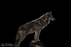 Wolf (IndyMcDuff (Bellifemine Studios)) Tags: wolves natural wildlife 2017 nikon nature d5 carnivore predator indymcduff invitingimage animals preserve wolf lakota april