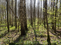 (Jeroen Hillenga) Tags: bos forest wald bomen tegenlicht lente voorjaar spring frühling westerwolde groningen netherlands nederland natuur nature landscape landschap