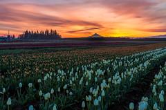 Tulip Farm Sunrise (Cole Chase Photography) Tags: spring tulips oregon flowers pacificnorthwest sunrise mthood