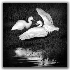 Intermediate egrets (tassie303) Tags: canberra australia birds egret monochrome ef100400mmf4556lisiiusm silverefexpro2 silverefex jerrabomberrawetlands