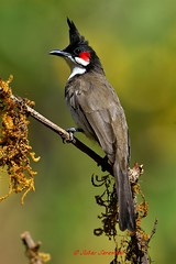 Red whiskered bulbul (Dr. suhas Sarawade) Tags: red whiskered bulbul nikond7000 nikkor 500mm