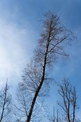 Décalé (jérôme martin-cocher) Tags: arbre lumière halo nu ciel forêt tordu