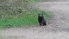 Mink (KHR Images) Tags: americanmink mink wild mammal carnivorous neovisonvison fendraytonlakes cambridgeshire eastanglia wildlife nature invasive alien nonnative nikon d500 kevinrobson khrimages