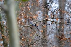 Eichelhäher - garrulus glandarius (krueesch) Tags: rabenvogel eurasianjay häher vögel vogel bird eichelhäher birds jay