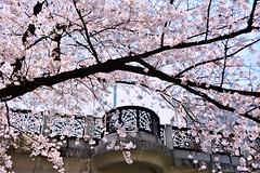 (mirei24) Tags: 日本 東京 飛鳥山公園 tokyo japan 桜 sakura さくら サクラ 花 flower pastel パステル pink ピンク color cherry tree cherrytree cherryblossom cherryblossoms 公園 park nikond7100